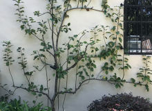 Espaliered Tree Flat Against Wall.png