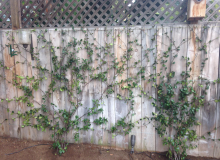Vines on Wooden Fence.png
